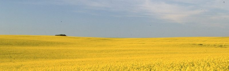 canola field blooming