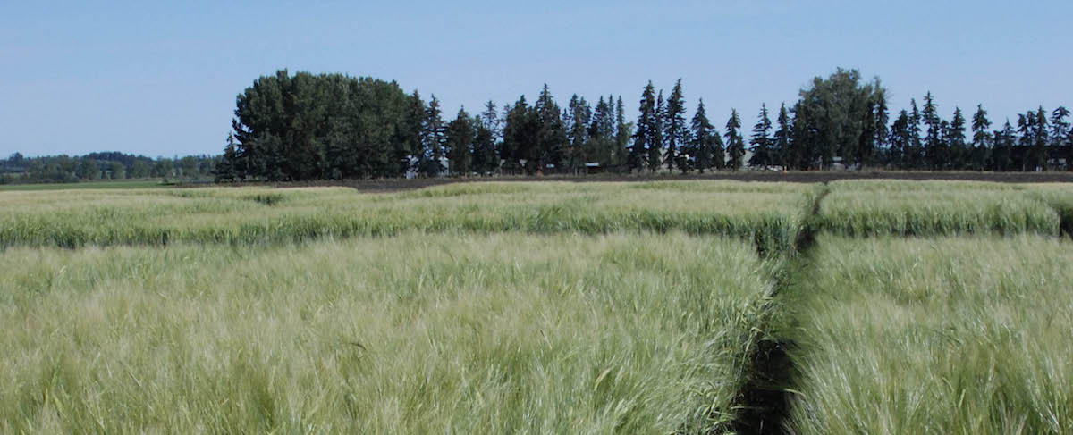 feed barley plots
