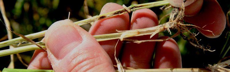 wheat stem sawfly larvae