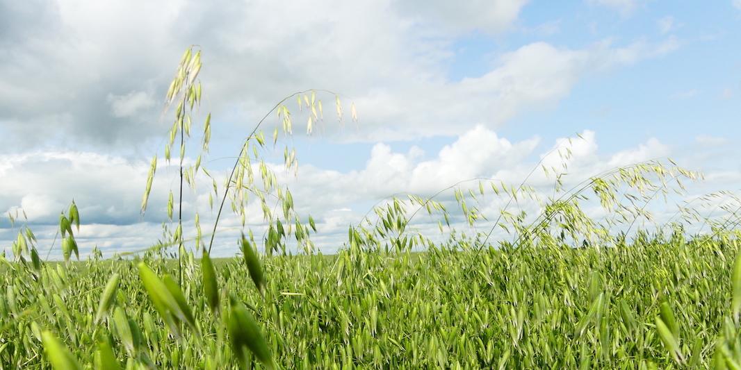 wild oat in tame oat