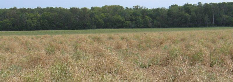 severe blackleg in canola field