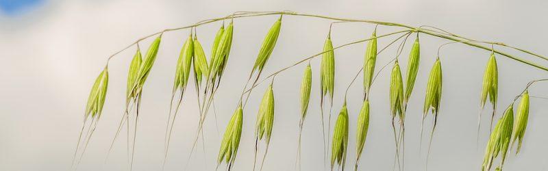 wild oat panicles