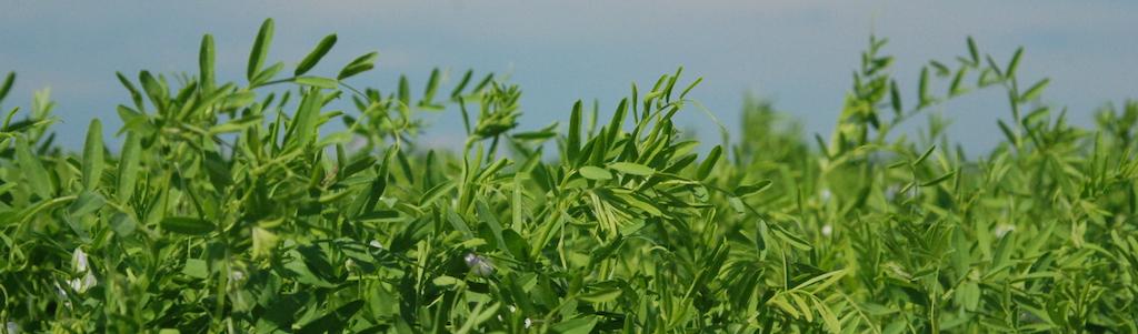 Lentil field