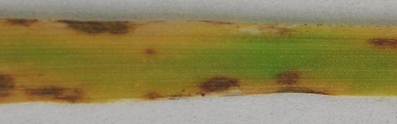 oat leaf blotch
