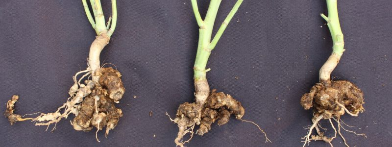 clubroot galls