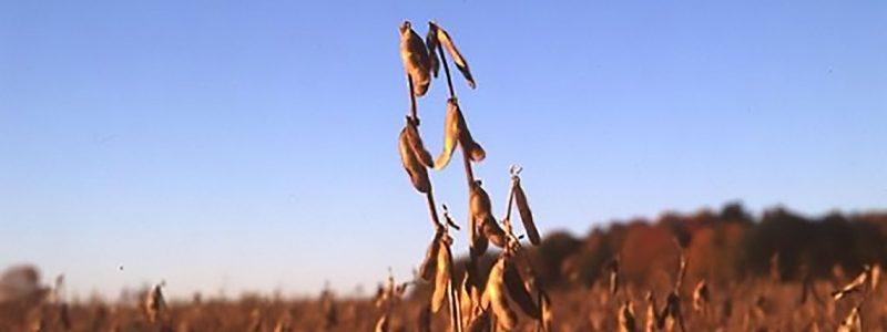 mature soybean