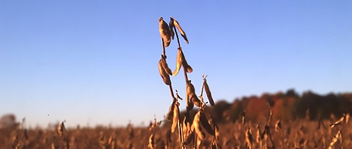 mature soybean