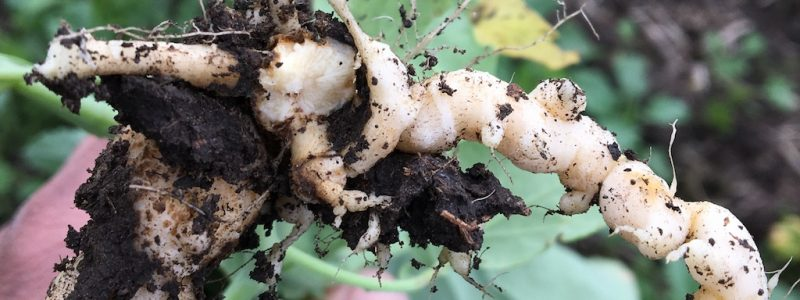 clubroot canola roots