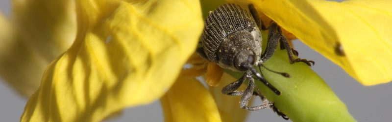Cabbage seedpod weevil flower