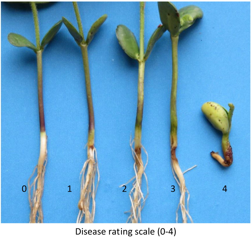 R. solani disease rating