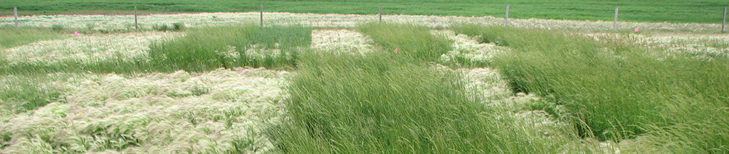 AC Saltlander foxtail barley