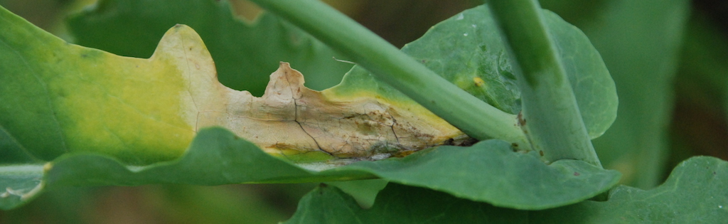 sclerotinia on a canola leaf