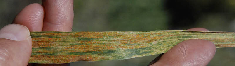 stripe rust