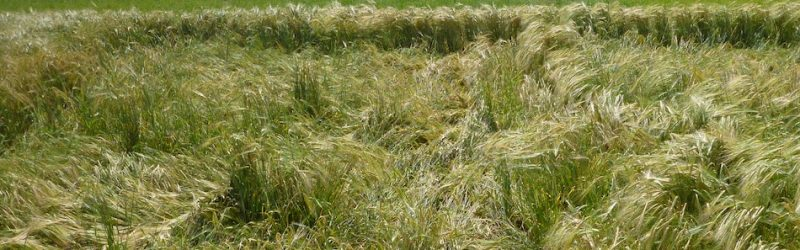Lodged barley