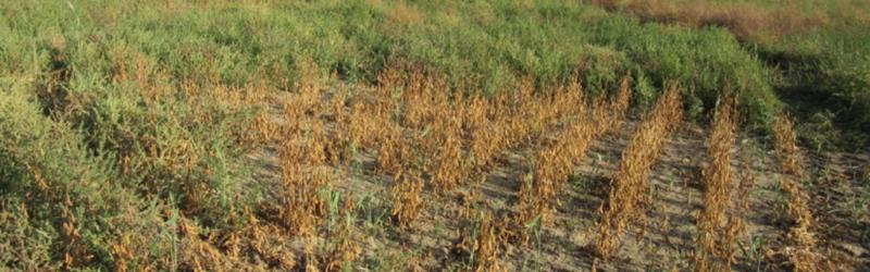 Fusarium root rot soybean