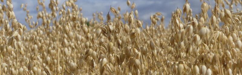 Mature oat heads