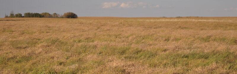 blackleg field