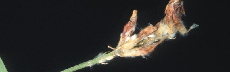 Blossom blight S. Sclerotiorum
